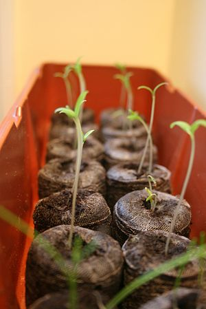 English: Tomato plants sprouted from seeds. Se...