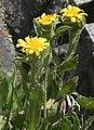 Tonestus peirsonii Inyo tonestus flower close.jpg