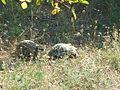 Tortoises in Krushevska Reka valley - P1100154.JPG