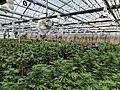 Tourists in a cannabis greenhouse in Denver, Colorado.jpg