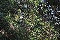 Trachelospermum asiaticum (22801531376).jpg