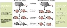 Protein-restricted (PR) diets fed to maternal mice leads to transgenerational effects in the offspring, up to the F3 generation depending on the length of protein restriction. All offspring are adequately fed, i.e. are not on a PR-diet. Grey mice represent wild-type phenotypes and pink mice represent offspring with either a genetic predisposition to hypertension (maternal rat fed PR-diet during pregnancy) or diabetes (maternal rat fed PR-diet during pregnancy and lactation). Mechanisms behind PR-diets are only proposed, as further research is needed to confirm their exact pathways