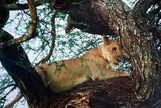 Tarangire National Park - Tree climbing lion at Tarangire National Park