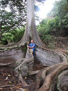 Ficus Tree With Ress Roots
