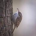 Treecreeper (40803027131).jpg