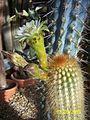 Trichocereus (Echinopsis) (3564616368).jpg