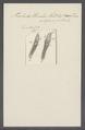 Trichoda uvula - - Print - Iconographia Zoologica - Special Collections University of Amsterdam - UBAINV0274 113 15 0037.tif