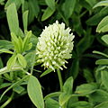 Trifolium pannonicum-IMG 4811.jpg