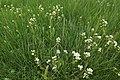 Triglochin maritimum plant (03).jpg