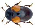Tritoma bipustulata Fabricius, 1775 (14615266771).png