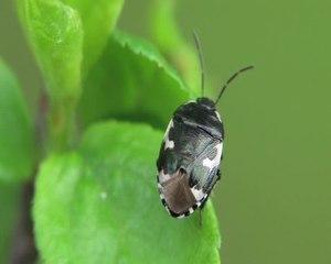 File:Tritomegas bicolor-2012-04-29.ogv