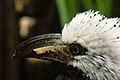 Tropicranus albocristatus -Central Park Zoo, New York, USA -upper body-8a.jpg