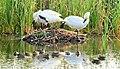 Trumpeter Swan and Cinnamon Teal on Muskrat House Seedskadee NWR 01 (14933307819).jpg