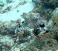 Trunkfish Smooth Trunkfish (7157470585).jpg