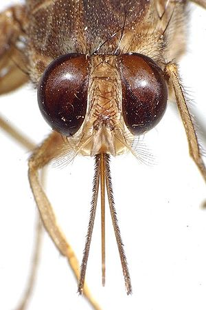 Tsetse fly - A photograph of the head of a tsetse illustrating the forward pointing proboscis