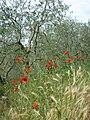 Tulipani e ulivi sul monte cecilia.JPG