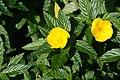 Turnera ulmifolia 11zz.jpg