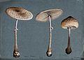 Two parasol mushrooms (Lepiota procera) and a shaggy parasol Wellcome V0043350.jpg
