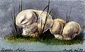 Two puff balls (Lycoperdon species). Watercolour, 1883. Wellcome V0043394.jpg