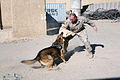 US Navy 071102-M-4999B-025 U.S. Marine Hospital Medic Louis Kost assigned to the II Marine Expeditionary Force (II MEF), Military Iraqi Transition Team (MITT), gets attacked by Bruno, a Military Working Dog.jpg