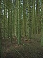 Under the trees in Kielder Forest - geograph.org.uk - 213110.jpg