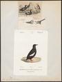 Uria grylle - 1700-1880 - Print - Iconographia Zoologica - Special Collections University of Amsterdam - UBA01 IZ17800285.tif