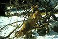 Urocyon cinereoargenteus in brushwood.jpg