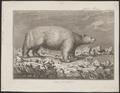 Ursus maritimus - 1700-1880 - Print - Iconographia Zoologica - Special Collections University of Amsterdam - UBA01 IZ22600081.tif