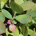 Vaccinium uliginosum (flower).JPG