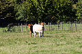 Vaches nantaise et froment du Léon, Écomusée du pays de Rennes, France.jpg