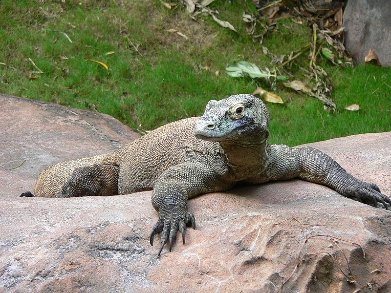 Komodo Dragon Wikipedia: Varanus Komodoensis (Komodo Dragon