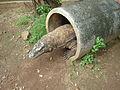 Varanus komodoensis Taman Mini Indonesia Indah.jpg