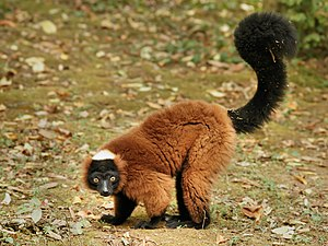 The World's 25 Most Endangered Primates - Varecia rubra