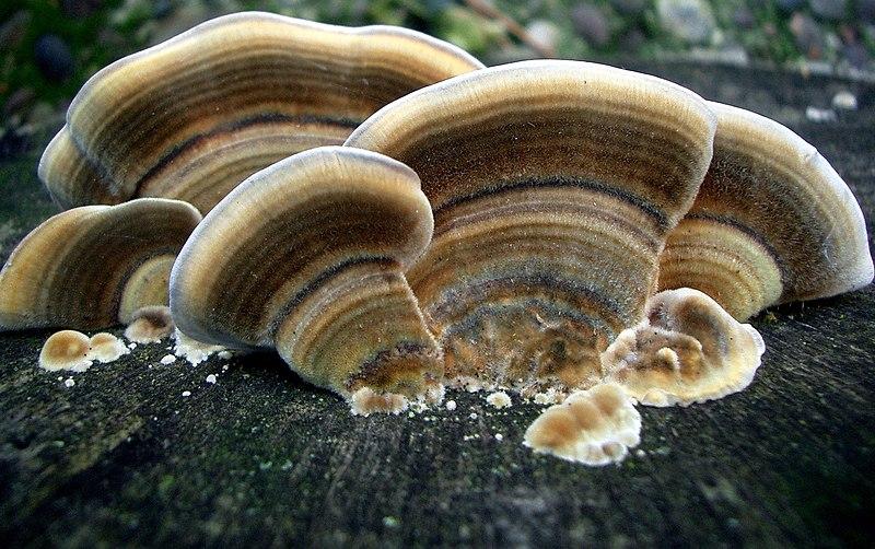 Чага полезные свойства: горчат грибы