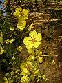 Verbascum sinuatum RJP 02.jpg