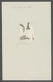Vermilia dentifer - - Print - Iconographia Zoologica - Special Collections University of Amsterdam - UBAINV0274 102 20 0025.tif