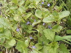 Veronica beccabunga plant2.jpg