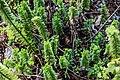 Veronica macrantha var. brachyphylla in Christchurch Botanic Gardens 02.jpg