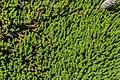 Veronica pauciramosa 01.jpg