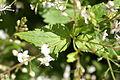 Veronica urticifolia 02.JPG