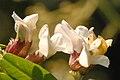 Vicia.sepium5.-.lindsey.jpg