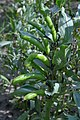 Vicia faba plant (04).jpg