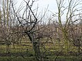 View into the orchard - geograph.org.uk - 1141585.jpg