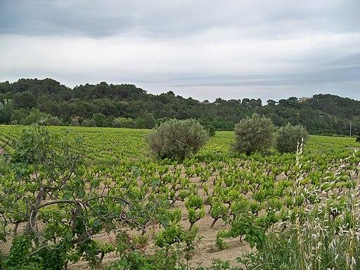 Vignes beaumes de venise