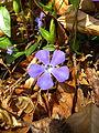 Vinca minor plant2.jpg