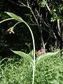 Vincetoxicum rossicum 5452376.jpg