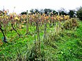 Vines at Rossiters Vineyard - geograph.org.uk - 606359.jpg