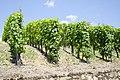 Vineyard by the Mosel jun 2018 (1).jpg