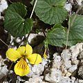 Viola crassa subsp. alpicola (flower and bud).jpg