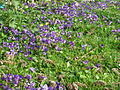 Viola odorata maarts viooltje veld.JPG